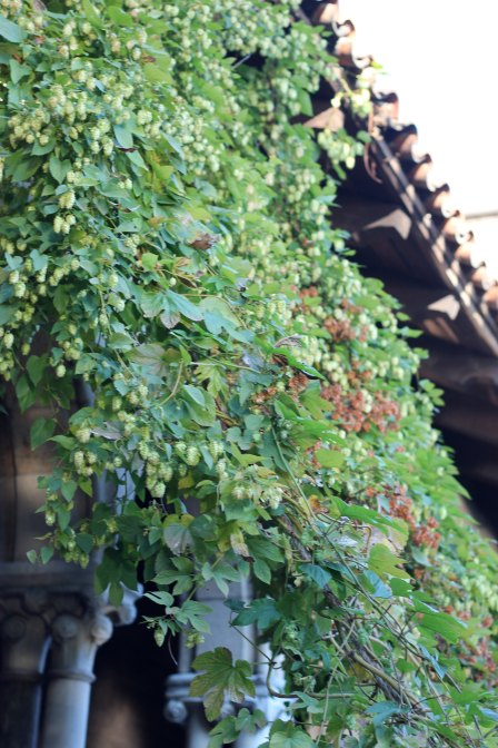 {hops in the Cloisters garden}